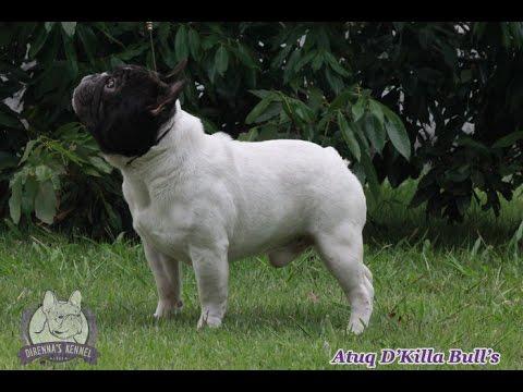 """Atuq D'Killa Bull's """"Importado do Peru"""""""